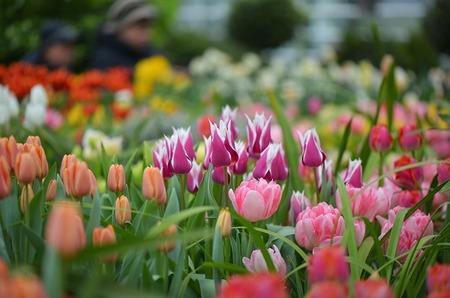 Арт-маршрут: Весенний фестиваль цветов в Аптекарском огороде